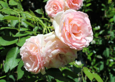 Roses jardin basque Aretxola